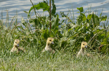 Three Little Canada Goose Goslings On Edge Of Lake Shore