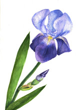 Watercolor Illustration Purple Iris Flower Plant. Wildflower Iris Flower In A Watercolor Style Isolated.