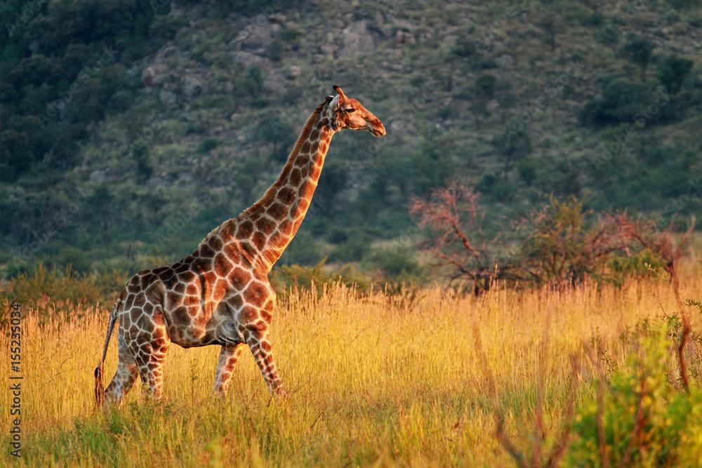 South African giraffe, Pilanesberg National Park, South Africa