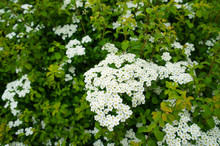 Bridal Wreath Spirea White Flowers With Green
