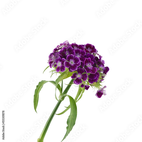 Purple sweet william flowers isolated on white background buy this purple sweet william flowers isolated on white background mightylinksfo