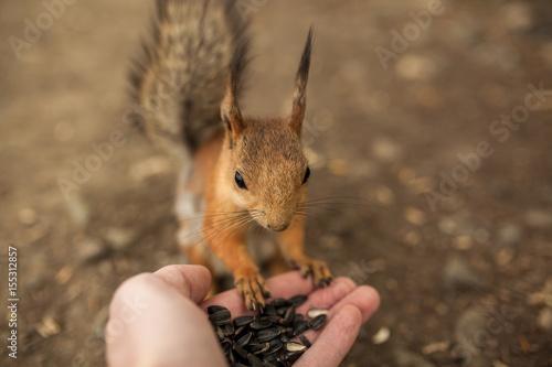 Obraz na dibondzie (fotoboard) wiewiórka w parku jedzenie rękami