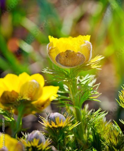 Fotobehang Bloemen Yellow flowers of adonis (Adonis vernalis)