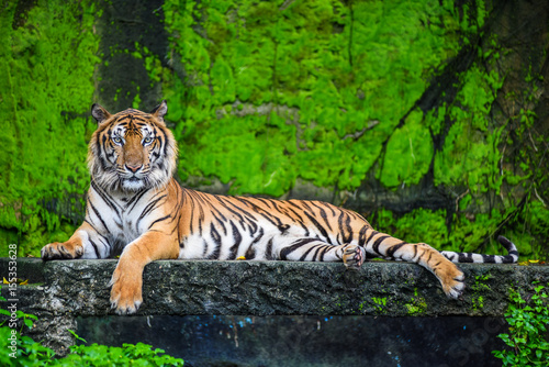 Spoed Foto op Canvas Tijger Bengal tiger