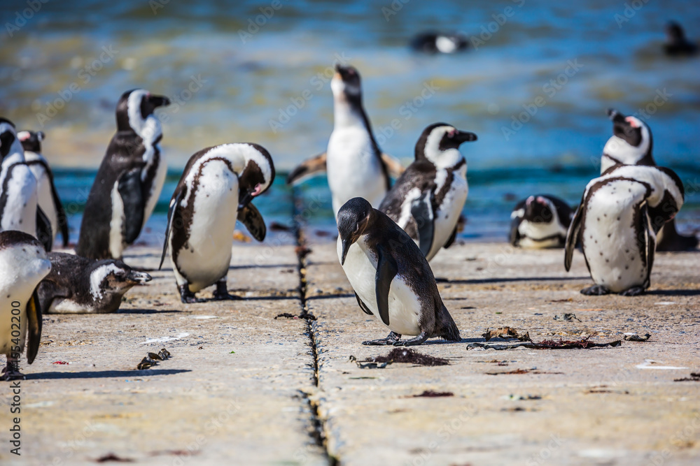 African penguins on the Atlantic coast