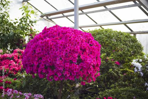 Zdjęcie XXL Azalii rododendron kwitnie w ogródzie