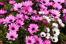 River Daisy (Dimorphotheca Ecklonis Or Osteospermum), Ornamental Flowers