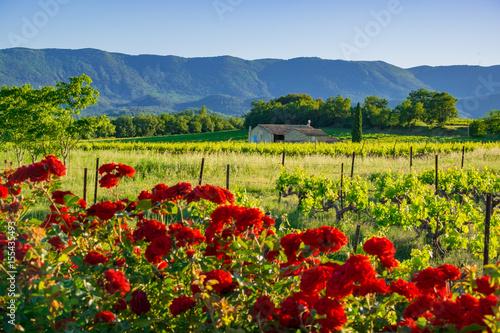 Paysage Rural De Provence Les Vignes Au Printemps Les Rosiers Au Premier Plan Buy This Stock Photo And Explore Similar Images At Adobe Stock Adobe Stock