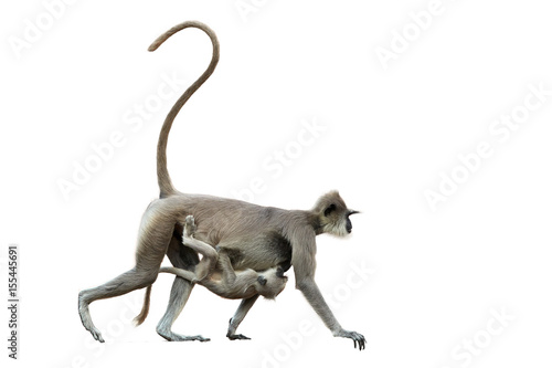 Photo  Isolated on white background, mother monkey  with baby,  Gray langur, Semnopithecus entellus, carrying a baby on her stomach