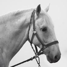 Sad Horse Animal Portrait