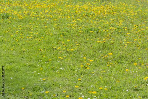 Fotografie, Obraz  Open flower of a dandelion.