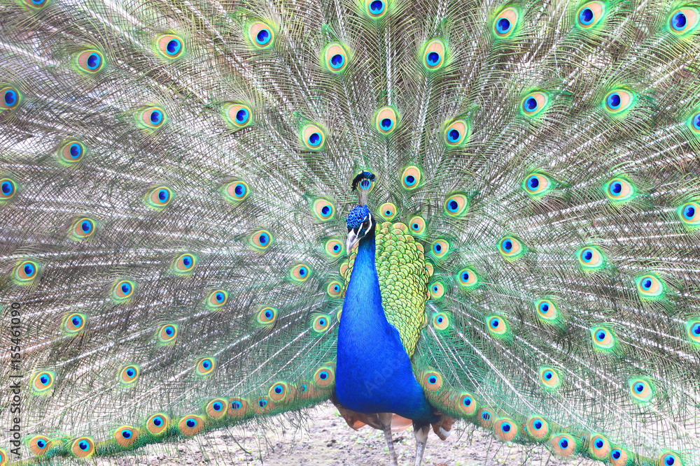 Photo Art Print Proud Blue Pea Showing Beautiful Feathers Spreading Its Tail Europosters
