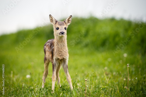 Photo  Young wild roe deer in grass, Capreolus capreolus