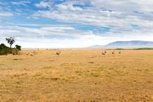 Eland Antelopes Grazing In Sav...