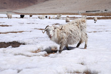 White Goats On Snow Field