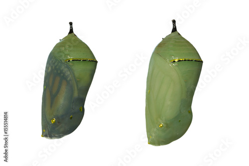 Foto Two monarch butterfly chrysalises with one day difference in development, the le