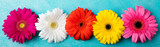 Colorful gerbera flowers Blue background. Top view
