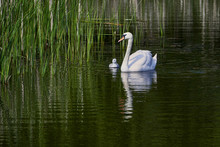 Swans Swimming With Young Cygn...