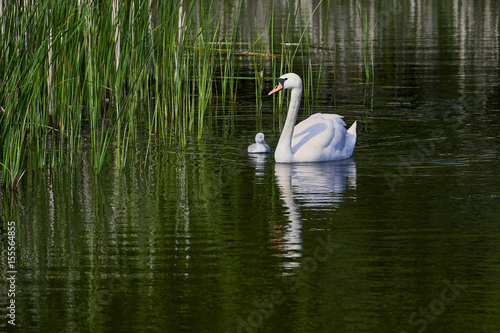 Swans swimming with young cygnets between reed plants - Poland , Europe