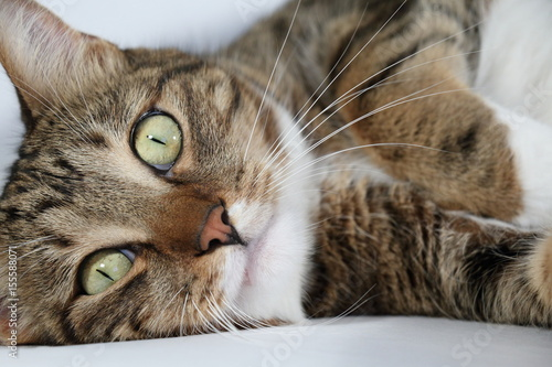 Spoed Foto op Canvas Canada Portrait of a domestic cat