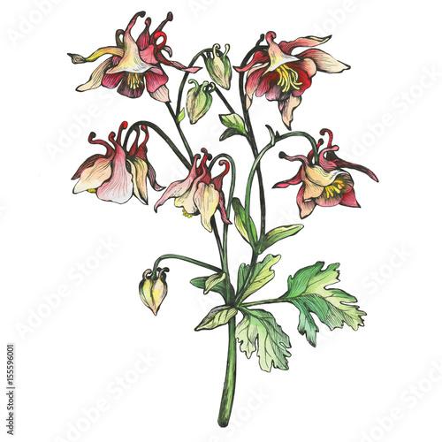 Fototapeta The branch flowering blue Aquilegia (common names: granny's bonnet or columbine)