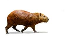 Capybara Isolate On White Back...