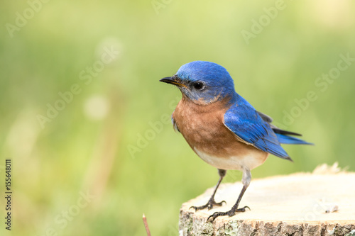 Fényképezés Eastern Bluebird (Sialia sialis) male has curious look as he stands on a stump w