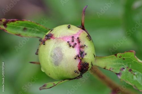 Fotografie, Obraz  つぼみの蜜を吸う蟻の集団