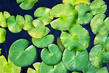 Beautiful Lotus Leaves