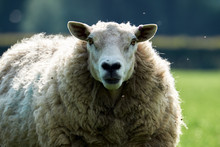 Sheeps, Close Up Of A Welsh Sheep In Brecon Beacons National Park