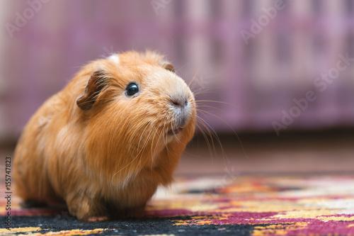 Fotografía  Portrait of red guinea pig.