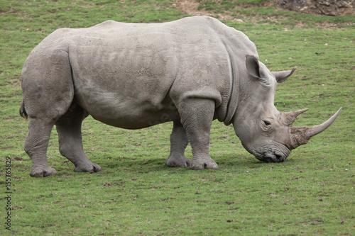 Poster Rhino Southern white rhinoceros (Ceratotherium simum).