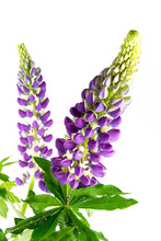 Beautiful Colorful Flowers Lupine With Green Leaves On A White Background