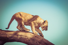 Young Lion Cub Trying To Get D...