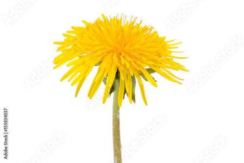 Fototapeta Single dandelion flower isolated on white