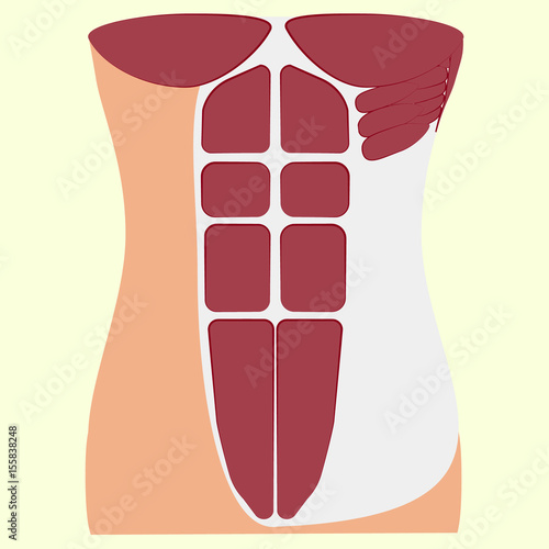 pectoralis major muscle, muscles of chest, thorax, brisket, breast, Fototapet