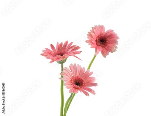 Fototapety, obrazy: Three pink Gebera flowers isolated on white background