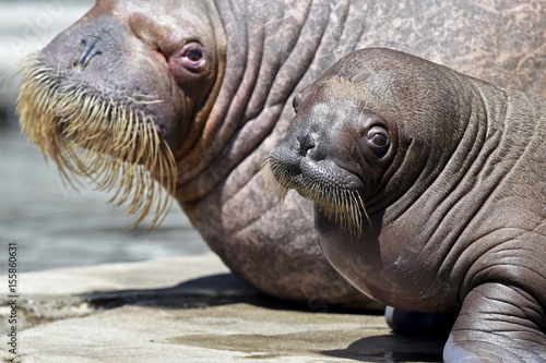Female walrus Polosa and her 4-weeks old calf, nameless