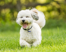 Small Dog Coton De Tulear Playing In Snow And Grass