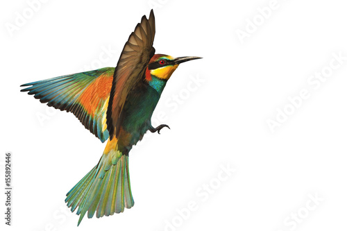 bird of paradise in flight isolated on a white background