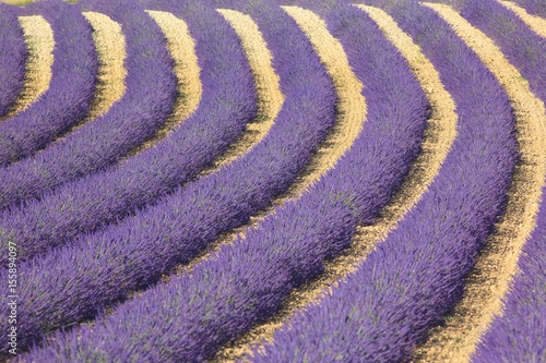 Fields of lavender in bloom, Valensole, Provence, France
