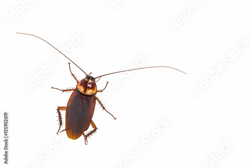 A cockroach isolated on white background.