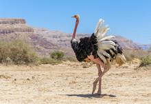 Male Of African Ostrich (Strut...