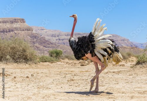 Deurstickers Struisvogel Male of African ostrich (Struthio camelus) in nature reserve near Eilat, Israel