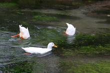 Three White Ducks Swimming And...