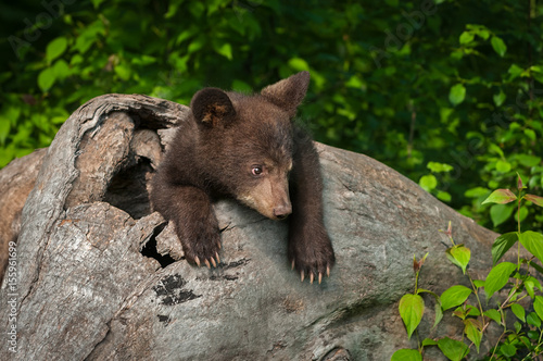 Fotografie, Obraz  Black Bear Cub (Ursus americanus) Looks Tentative in Log
