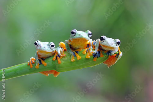 Photographie Tree frog, Rhacophorus reinwardtii