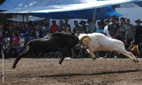 Rams Fight During A Sundanese Traditional Cultural Event Called Adu