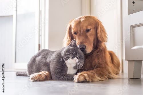 Chat British cat and Golden Retriever
