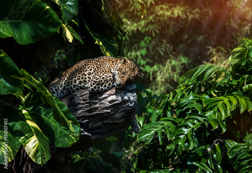 Obrazy na płótnie Canvas A sleeping leopard in a tree in the green tropical forest on a Sunny day.